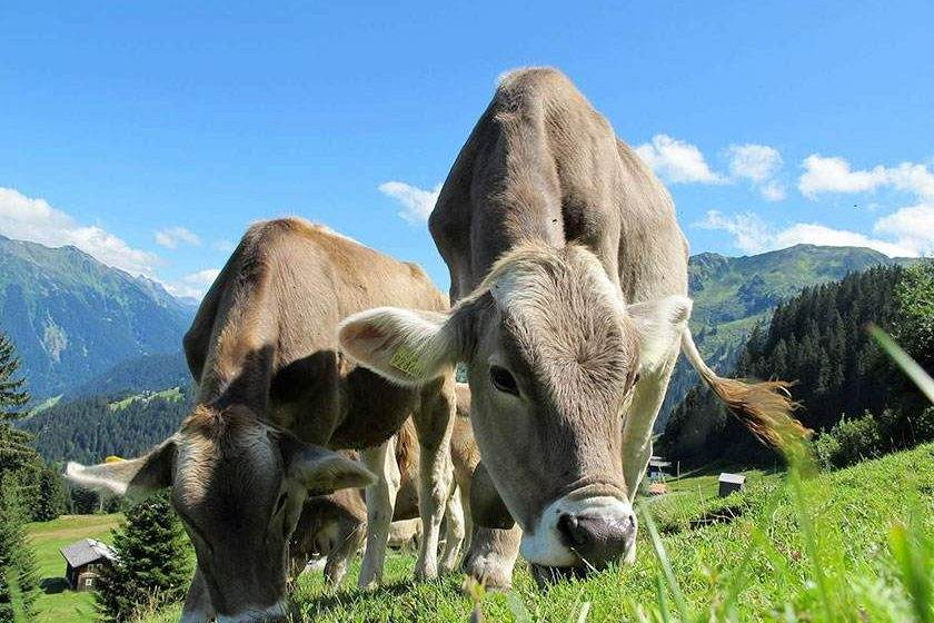 feelgood-mucche-malga-pascolo-alpeggio-asiago